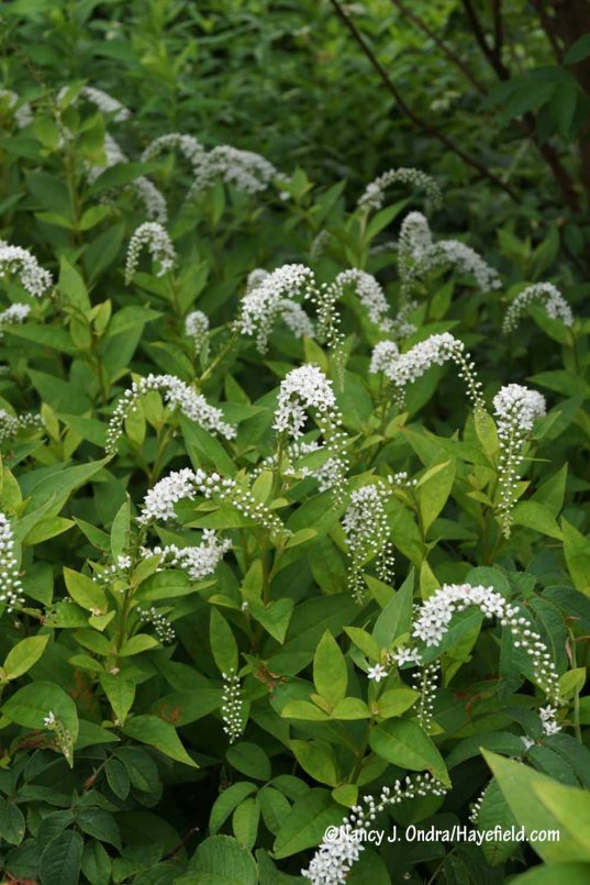 Gooseneck loosestrife (Lysimachia clethroides): not something I'd let loose in the garden proper, but it's working out well planted in a tough spot out back with other thugs [Nancy J. Ondra/Hayefield.com]