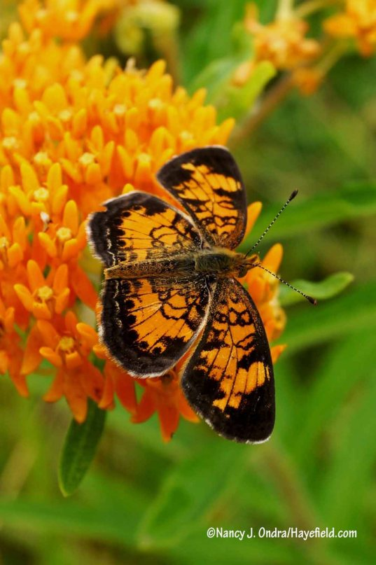Butterfly weed (Asclepias tuberosa) with a pearl crescent (or maybe a northern crescent?) [Nancy J. Ondra/Hayefield.com]
