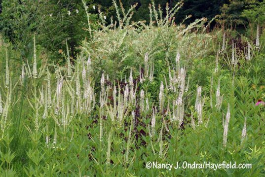 Culver's root (Veronicastrum virginicum) in front of 'Hakuro Nishiki' willow (Salix integra) [nancy J. Ondra/Hayefield.com]