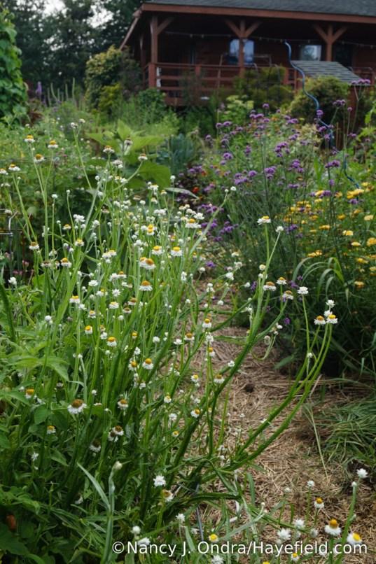 Winged everlasting (Ammobium alatum) [Nancy J. Ondra/Hayefield.com]