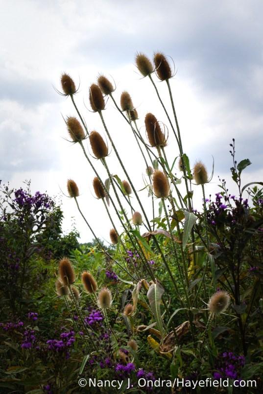 Fuller's teasel (Dipsacus fullonum) in the lower meadow [Nancy J. Ondra/Hayefield.com]