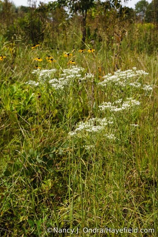 Hyssop-leaved thoroughwort (Eupatorium hyssopifolium) [Nancy J. Ondra/Hayefield.com]