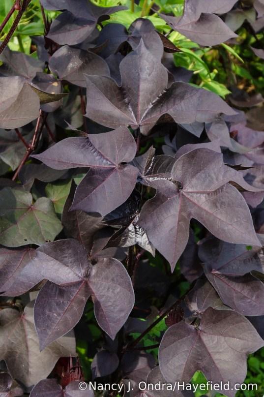 Black-leaved cotton (Gossypium herbaceum 'Nigrum') [Nancy J. Ondra/Hayefield.com]