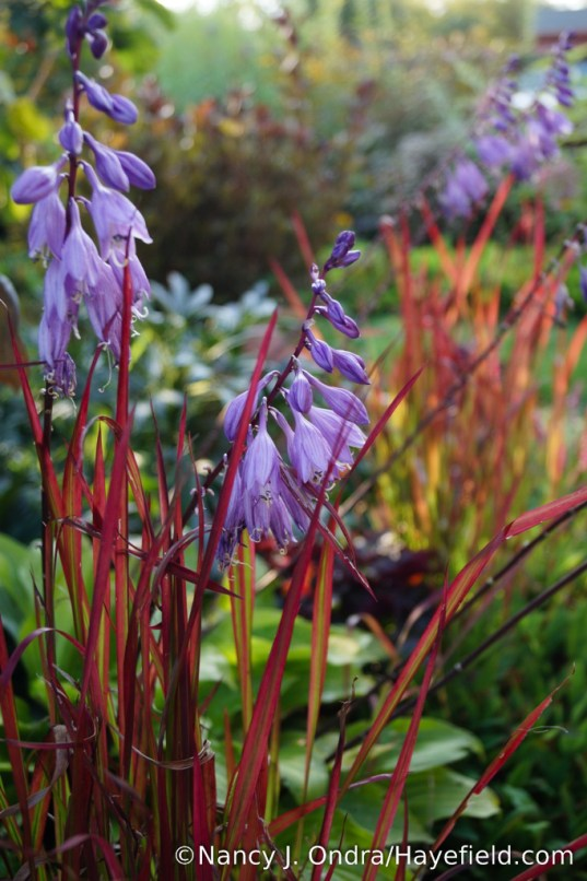 'Fire Island' hosta with Japanese blood grass (Imperata cylindrica 'Rubra') [Nancy J. Ondra/Hayefield.com]