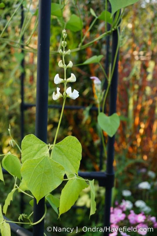 White hyacinth bean (Lablab purpureus 'Alba') [Nancy J. Ondra/Hayefield.com]