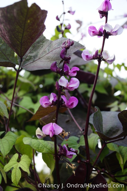 Hyacinth bean (Lablab purpureus [Dolichos lablab]) [Nancy J. Ondra/Hayefield.com]