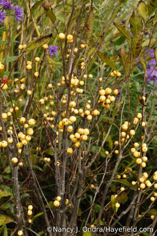 Berry Heavy Gold winterberry holly (Ilex verticillata 'Roberta Case') [Nancy J. Ondra/Hayefield.com]