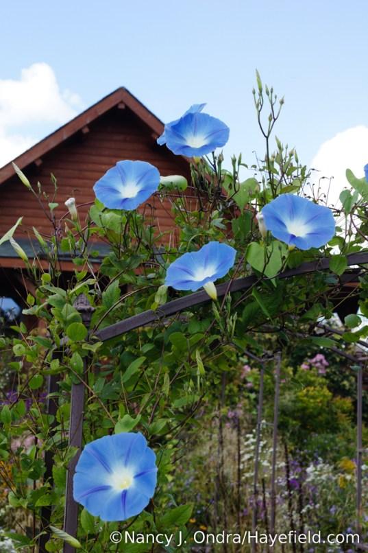 'Heavenly Blue' morning glory (Ipomoea tricolor) [Nancy J. Ondra/Hayefield.com]