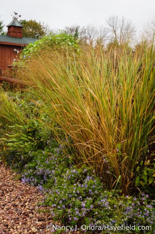 'Cloud Nine' switch grass (Panicum virgatum) with aromatic aster (Symphyotrichum oblongifolium) [Nancy J. Ondra/Hayefield.com]