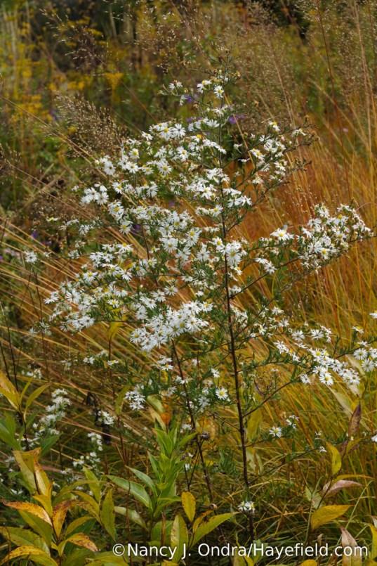 Heath aster (Symphyotrichum ericoides) with prairie dropseed (Sporobolus heterolepis) [Nancy J. Ondra/Hayefield.com]