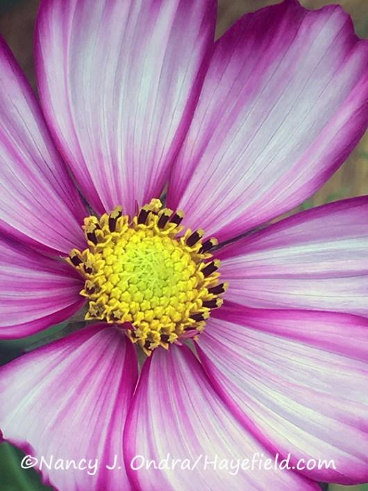 'Velouette' cosmos (Cosmos bipinnatus) [©Nancy J. Ondra/Hayefield.com]