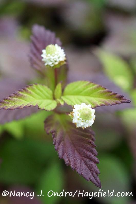 Aztec sweet herb (Phyla [Lippia] dulcis) [©Nancy J. Ondra/Hayefield.com]