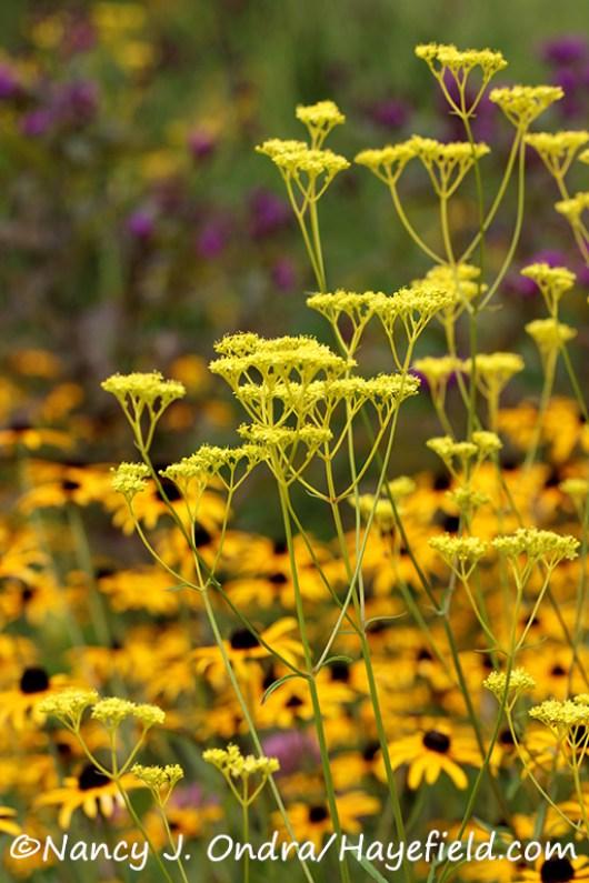 Golden lace (Patrinia scabiosifolia) [©Nancy J. Ondra/Hayefield.com]
