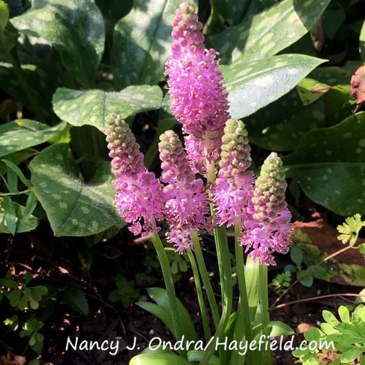 Japanese jacinth (Barnardia japonica) [Nancy J. Ondra/Hayefield.com]