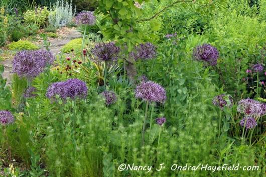 Nigella damascena in bud [©Nancy J. Ondra/Hayefield.com]