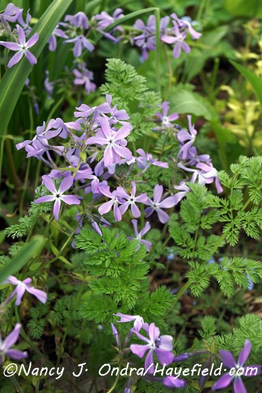 Orlaya grandiflora foliage [©Nancy J. Ondra/Hayefield.com]