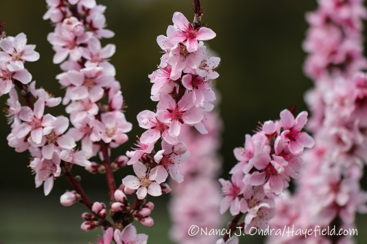 Prunus persica red leaf form[©Nancy J. Ondra/Hayefield.com]