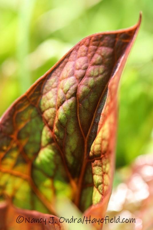 Cardiocrinum cordatum [©Nancy J. Ondra/Hayefield.com]