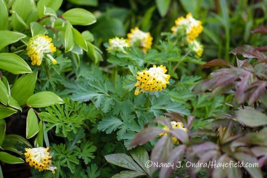 Corydalis nobilis [©Nancy J. Ondra/Hayefield.com]