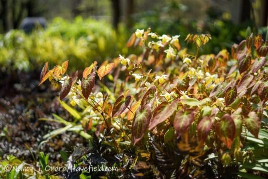 Epimedium × versicolor 'Sulphureum' [©Nancy J. Ondra/Hayefield.com]
