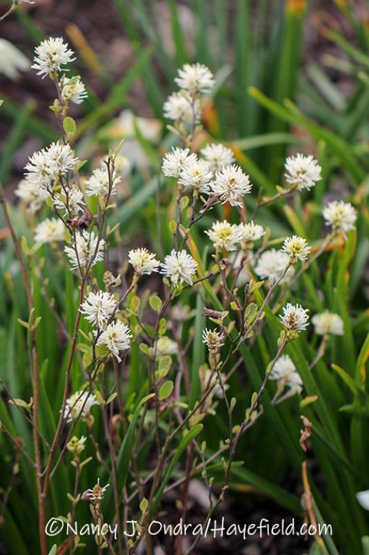 Fothergilla gardenii 'Jane Platt' [©Nancy J. Ondra/Hayefield.com]
