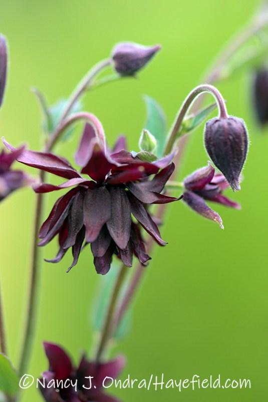 Aquilegia vulgaris var. stellata 'Black Barlow' [©Nancy J. Ondra/Hayefield.com]