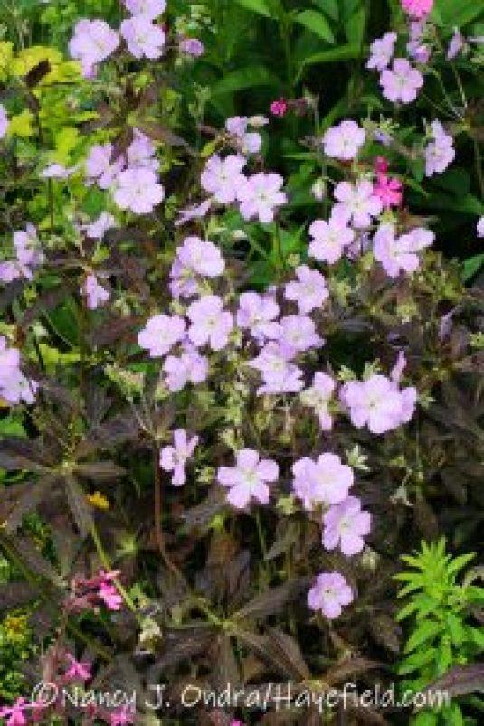 Geranium maculatum 'Espresso' [©Nancy J. Ondra/Hayefield.com]