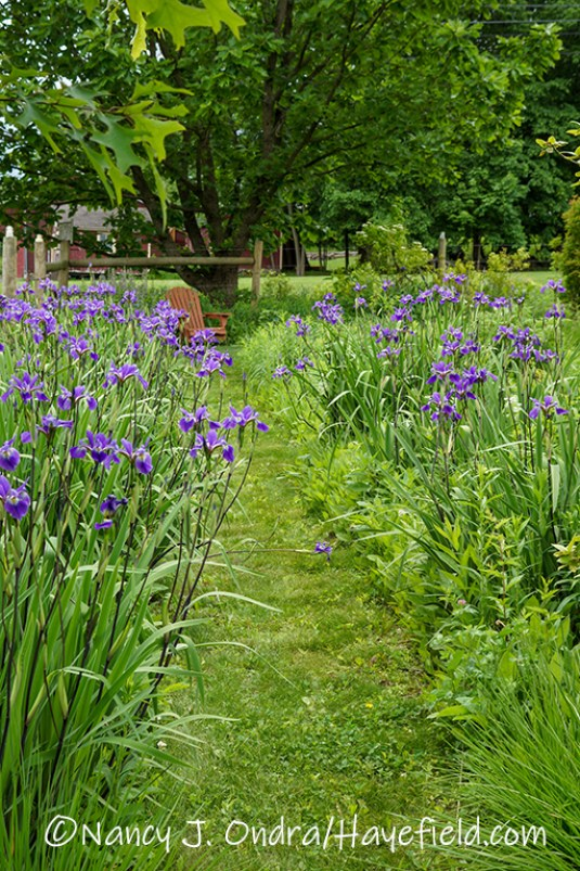 Iris x robusta 'Gerald Darby' [©Nancy J. Ondra/Hayefield.com]