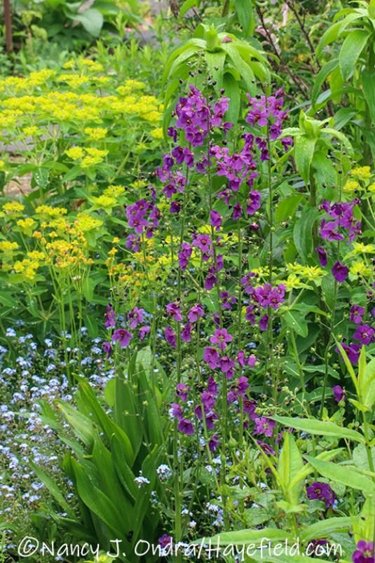 Verbascum phoeniceum 'Violetta' [©Nancy J. Ondra/Hayefield.com]