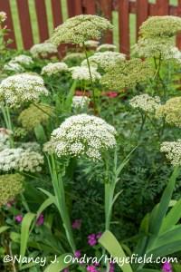 Coenolophium denutadum [©Nancy J. Ondra/Hayefield.com]