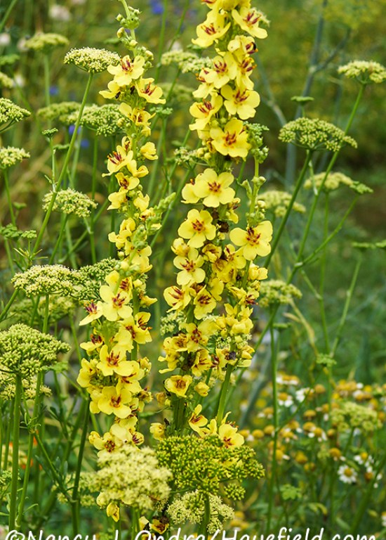 Verbascum nigrum and Petroselinum crispum [©Nancy J. Ondra/Hayefield.com]