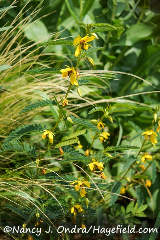 Chamaecrista fasciculata [Nancy J. Ondra/Hayefield.com]