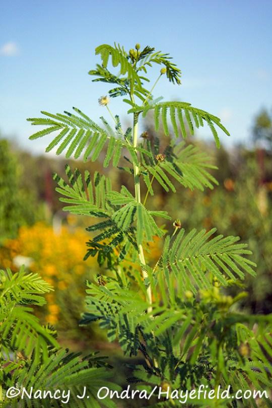 Desmanthus illinoensis [Nancy J. Ondra/Hayefield.com]