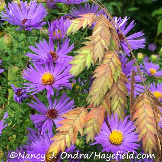 Chasmanthium latifolium and Symphyotrichum oblongifolium [Nancy J. Ondra/Hayefield.com]