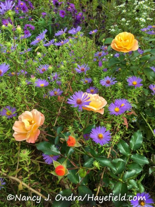 Symphyotrichum oblongifolium and Rosa 'Flower Carpet Amber' [Nancy J. Ondra/Hayefield.com]