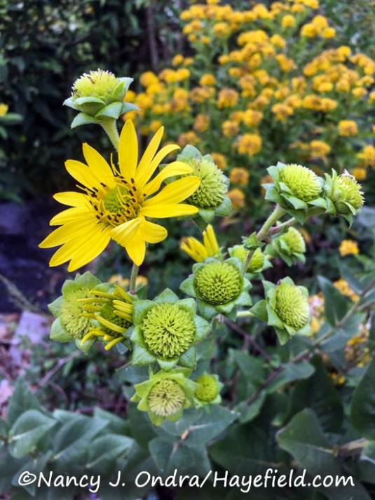 Silphium integrifolium [Nancy J. Ondra/Hayefield.com]