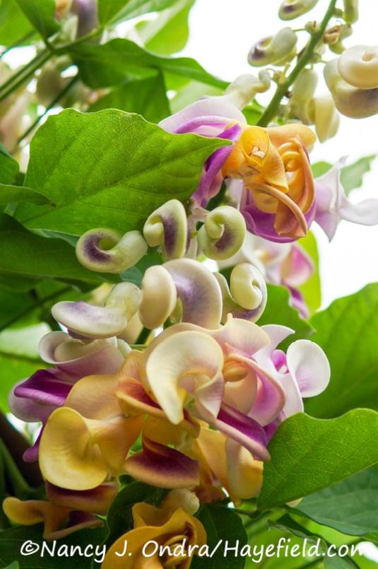 Cochliasanthus (Vigna) caracalla [Nancy J. Ondra/Hayefield.com]