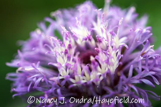 Centratherum intermedium [Nancy J. Ondra/Hayefield.com]
