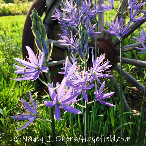 Camassia quamash [©Nancy J. Ondra/Hayefield.com]