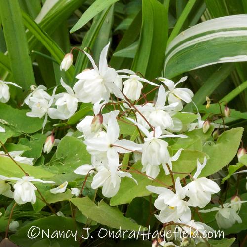 Epimedium x youngianum 'Niveum' [©Nancy J. Ondra/Hayefield.com]