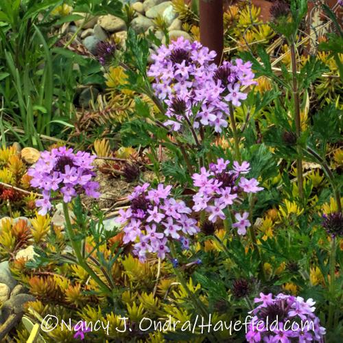 Glandularia canadensis [©Nancy J. Ondra/Hayefield.com]