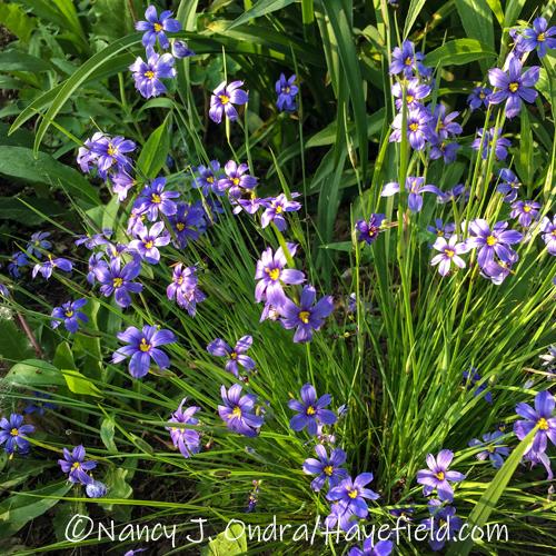 Sisyrinchium angustifolium [©Nancy J. Ondra/Hayefield.com]