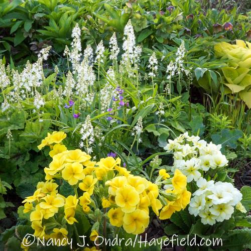 Tiarella cordifolia, Lathyrus vernus 'Filifolius', and Barnhaven Polyanthus primroses at Hayefield in early May [©Nancy J. Ondra/Hayefield.com]