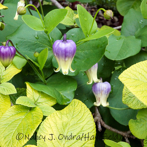 Clematis versicolor [Nancy J. Ondra/Hayefield.com]