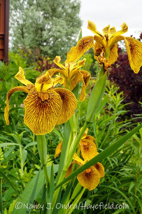 Iris pseudacorus hybrid 'Berlin Tiger' [Nancy J. Ondra/Hayefield.com]