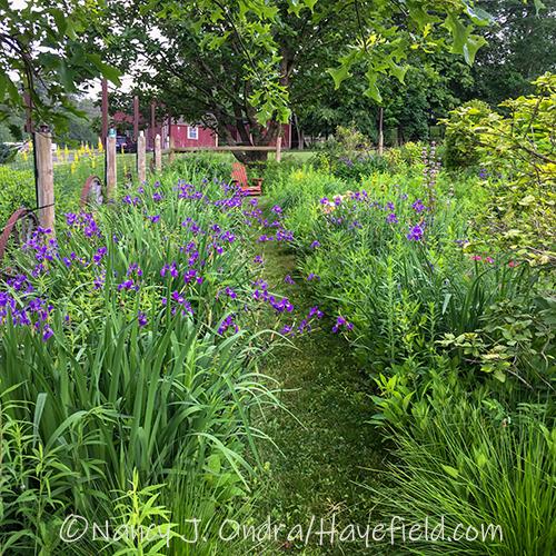 Iris x robusta 'Gerald Darby' [Nancy J. Ondra/Hayefield.com]