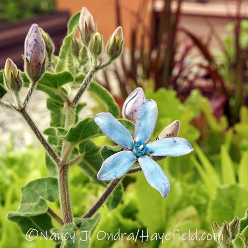 Oxypetalum caeruleum [Nancy J. Ondra/Hayefield.com]