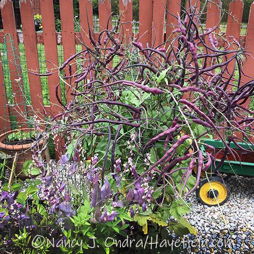Raphanus sativus var. caudatus 'Dragon Tail' [Nancy J. Ondra/Hayefield.com]