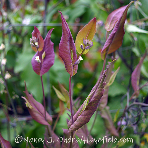 Streptanthus farnsworthianus [Nancy J. Ondra/Hayefield.com]