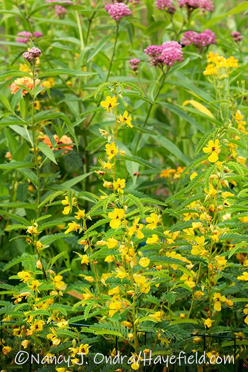 Chamaecrista fasciculata (partridge pea) [©Nancy J. Ondra/Hayefield.com]